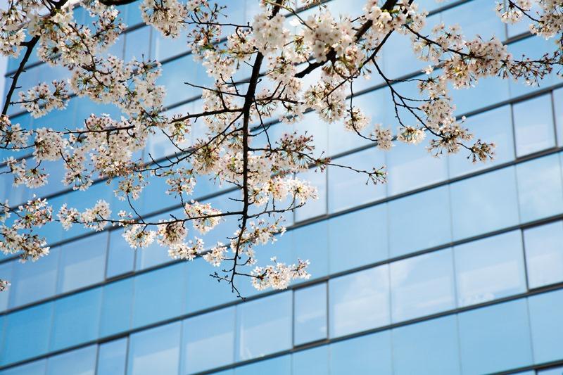 Osaka Cherry Blossoms